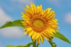 Tournesol de floraison Image libre de droits