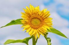 Tournesol de floraison Photo libre de droits