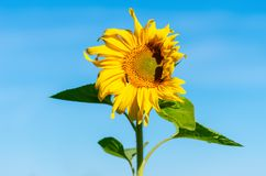 Tournesol de floraison contre un ciel bleu d'été minimalisme Plan rapproché image libre de droits