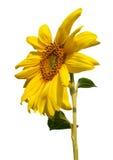 Tournesol de floraison sur le fond blanc Image stock