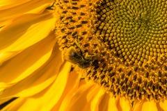 Tournesol de l'abeille 0n rassemblant le pollen Photos stock