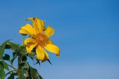 Tournesol de Maxican contre le ciel bleu clair photos libres de droits