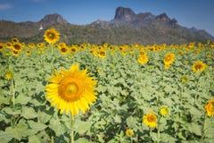 Tournesol de pleine floraison au-dessus du champ avec la montagne et le ciel bleu d'espace libre Photo stock