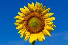 Tournesol de pleine floraison avec le ciel bleu Images stock