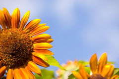 Tournesol en gros plan Images stock