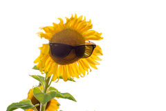 Tournesol en verres de soleil Photos libres de droits