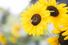 Tournesol et abeille Photographie stock libre de droits