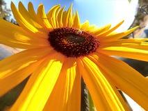 Tournesol et abeille Image libre de droits