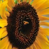 Tournesol et abeilles Photo libre de droits