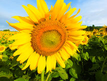 Tournesol et ciel bleu Photo stock