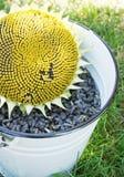 Tournesol et graines dans le seau Image stock