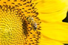 Tournesol et une abeille Photo stock