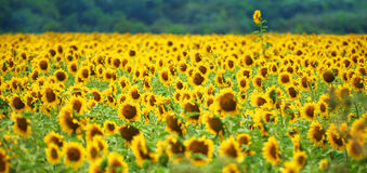 Tournesol exceptionnel Photos stock