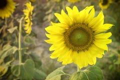 Tournesol fleurissant dans le style de vignette Images stock