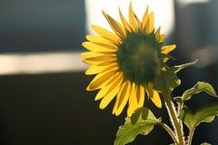 Tournesol fleurissant sous le soleil Photo stock
