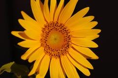 Tournesol fleurissant sous le soleil Photographie stock libre de droits
