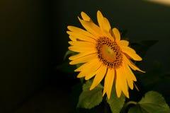Tournesol fleurissant sous le soleil Image libre de droits