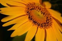 Tournesol fleurissant sous le soleil Image stock