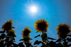 Tournesol Japon Images stock