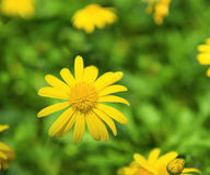 tournesol jaune Photo stock