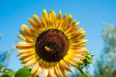 tournesol jaune Image stock