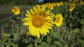 tournesol jaune Photo libre de droits