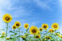 Tournesol jaune avec le fond de ciel bleu photographie stock