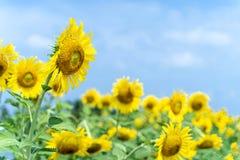 Tournesol jaune avec le fond de ciel bleu image libre de droits
