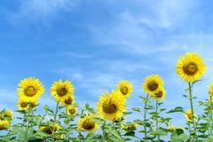 Tournesol jaune avec le fond de ciel bleu photographie stock libre de droits