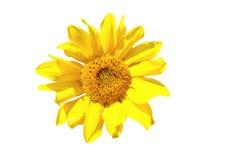Tournesol jaune d'isolement sur le blanc Photos libres de droits