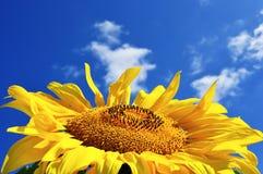 Tournesol jaune en jour ensoleillé Image stock