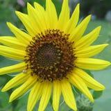 Tournesol jaune en pleine floraison Photo stock