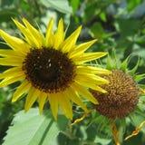 Tournesol jaune en pleine floraison devant la fleur fanée Photo libre de droits