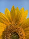 Tournesol jaune lumineux photo stock
