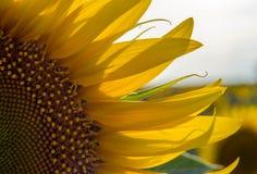 Tournesol jaune lumineux sur la fin de champ vers le haut du macro photographie stock libre de droits