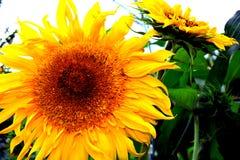Tournesol lumineux jaune images libres de droits