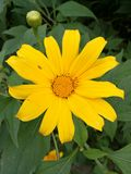 Tournesol mexicain Photo libre de droits