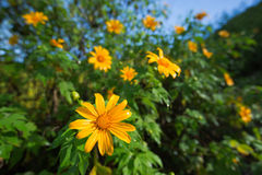 Tournesol mexicain ou diversifolia de Tithonia, Thaïlande Photos stock