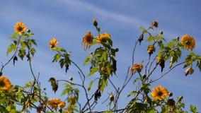 Tournesol mexicain ou diversifolia de Tithonia, Thaïlande image libre de droits
