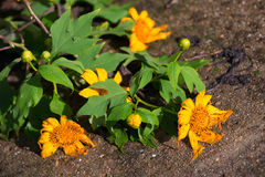 Tournesol mexicain ou diversifolia de Tithonia, Thaïlande photographie stock
