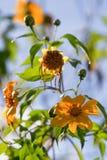 Tournesol mexicain ou diversifolia de Tithonia, Thaïlande photographie stock libre de droits