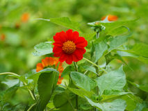 Tournesol mexicain rouge Image stock