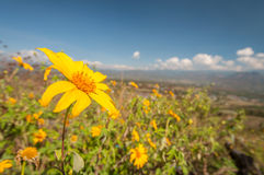 Tournesol mexicain Weed Image stock