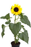 Tournesol parfait Photos libres de droits