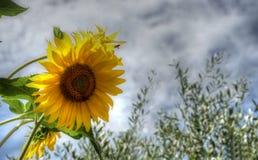 Tournesol pendant l'été avec une abeille images stock