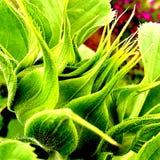 Tournesol préparant pour fleurir Images stock