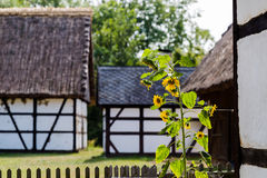 Tournesol simple dans la vieille ferme avec des maisons couvertes de W prussien Photographie stock libre de droits