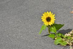 Tournesol simple s'élevant par les fissures de trottoir Photos stock