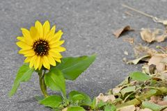 Tournesol simple s'élevant par les fissures de trottoir Images stock