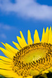 Tournesol sous le ciel bleu d'été clair. Images stock